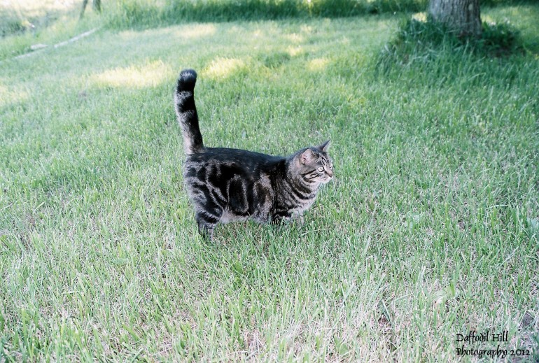 Picture of our cat, Mommy Cat, taken in our front yard. Yes a cat named Mommy Cat, because she brought us many kittens! And one beautiful cat I might add.