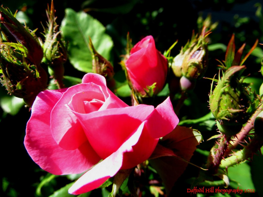 A rose photographed with my Canon SX260
