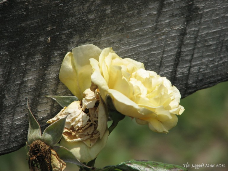 a fading rose on a faded fence line.