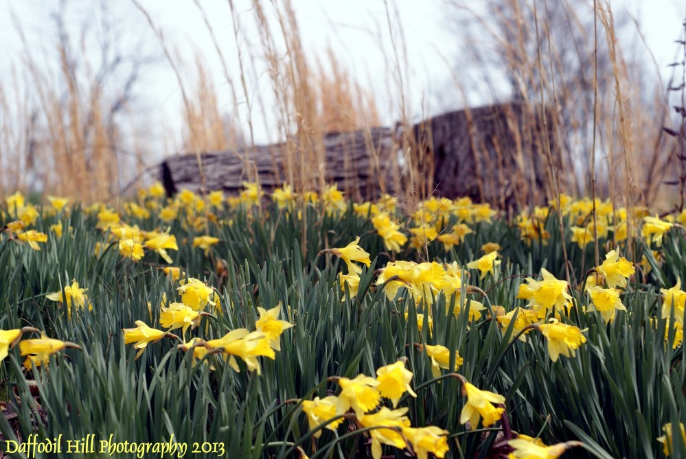 Daffodils From The Hill: DSLR vs Point and Shot (3/4)