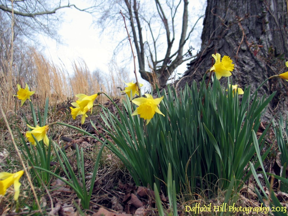 Daffodils From The Hill: DSLR vs Point and Shot (1/4)