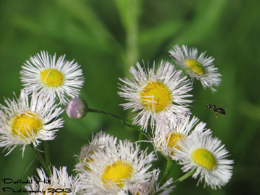 A sweat bee coming in for a landing on a Fleabane.