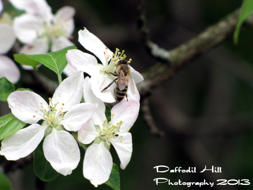 The bees have arrived and are enjoying the Apple Blossoms!