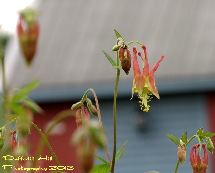 I found this Red Columbine a bright spot to a grey day!