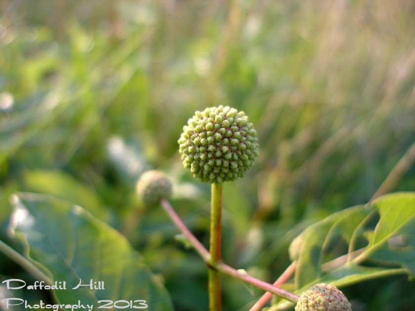 This is a Buttonbush bud and when they bloom they are a great asset to nature. I used my SP-350 on this shot as well.