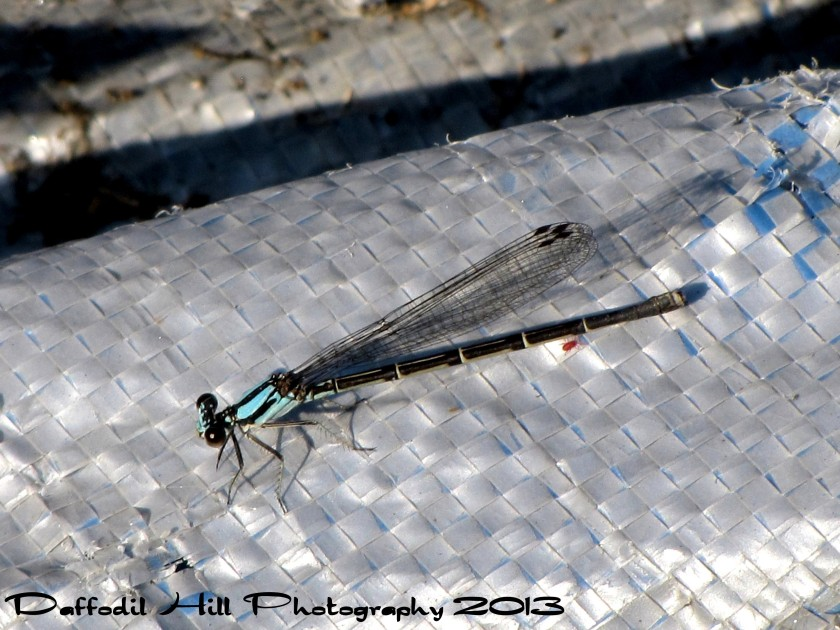 I love Damselflies and this one is really cool. I used my Powershot Sx10is in this capture.