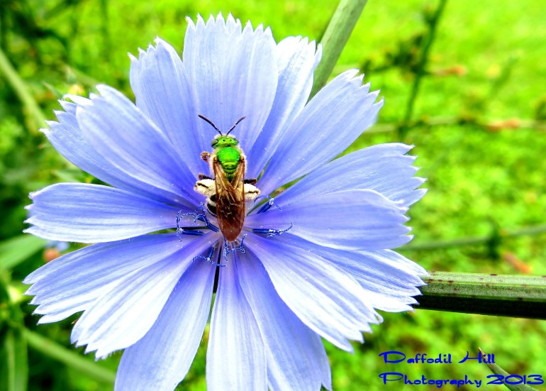 Sweat Bee on a Chicory Flower