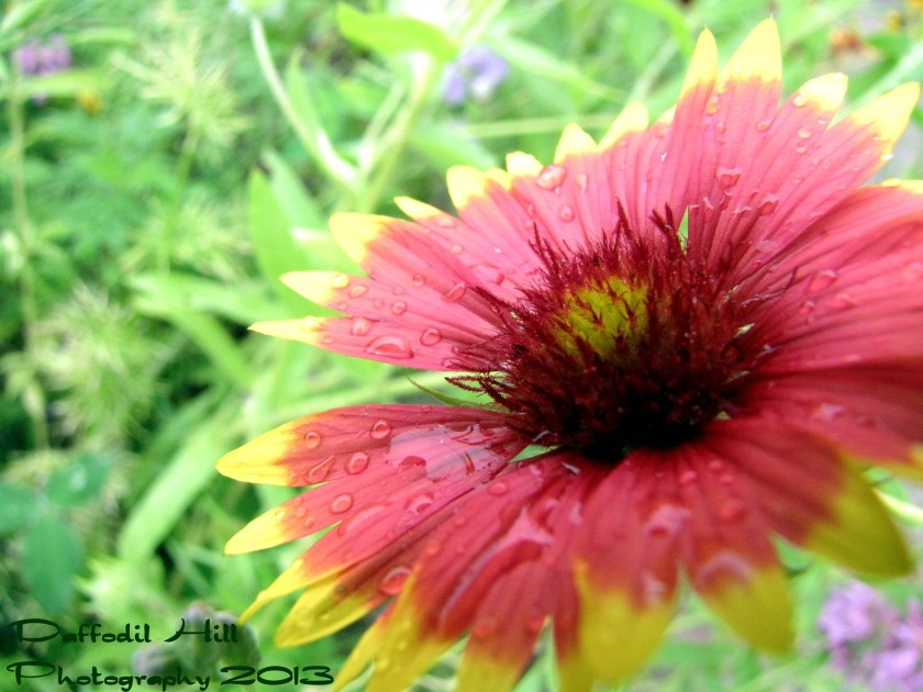 An Indian Blanket enjoying the rain.