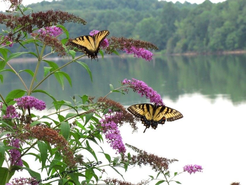 Butterflies enjoy the day by the lake too.