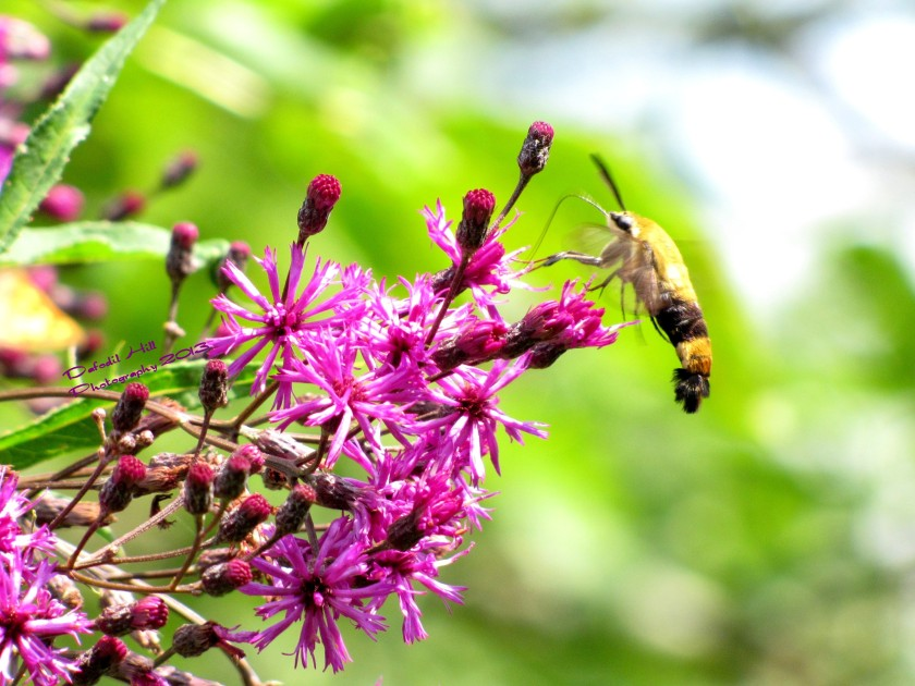 This is a Hummingbird Moth. Beside children probably the hardest thing to capture setting still!