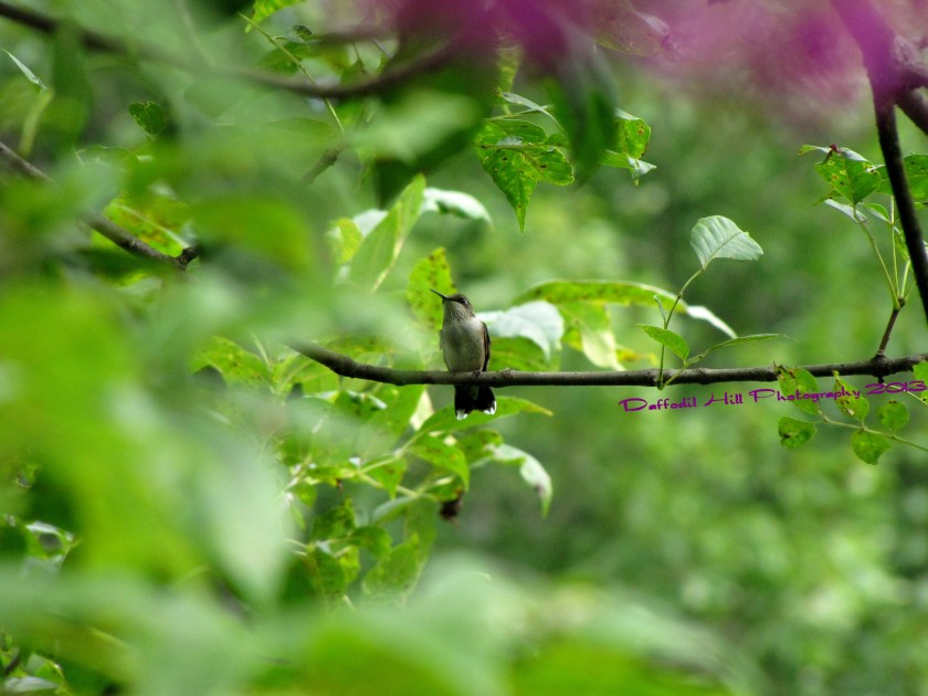 I know this is a picture of Hummingbird but I was able to get little bit of the Ironweed in at the top.