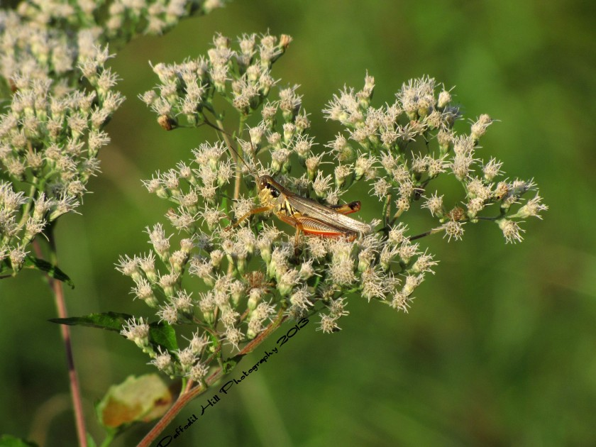 A Grasshopper just hanging out in the late Evening sun.