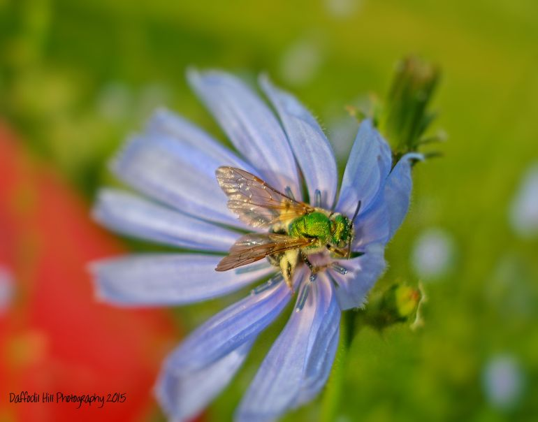 Click on picture to enlarge and see the coolest sweat bee may be ever.